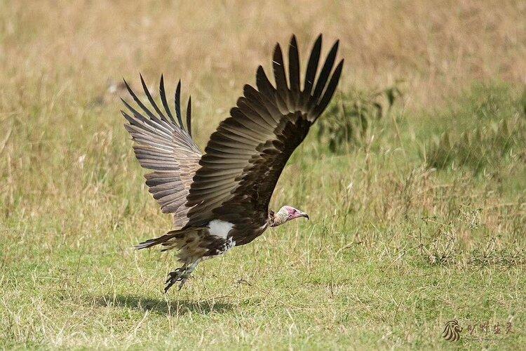 褐鹈鹕_肯尼亚百鸟回放