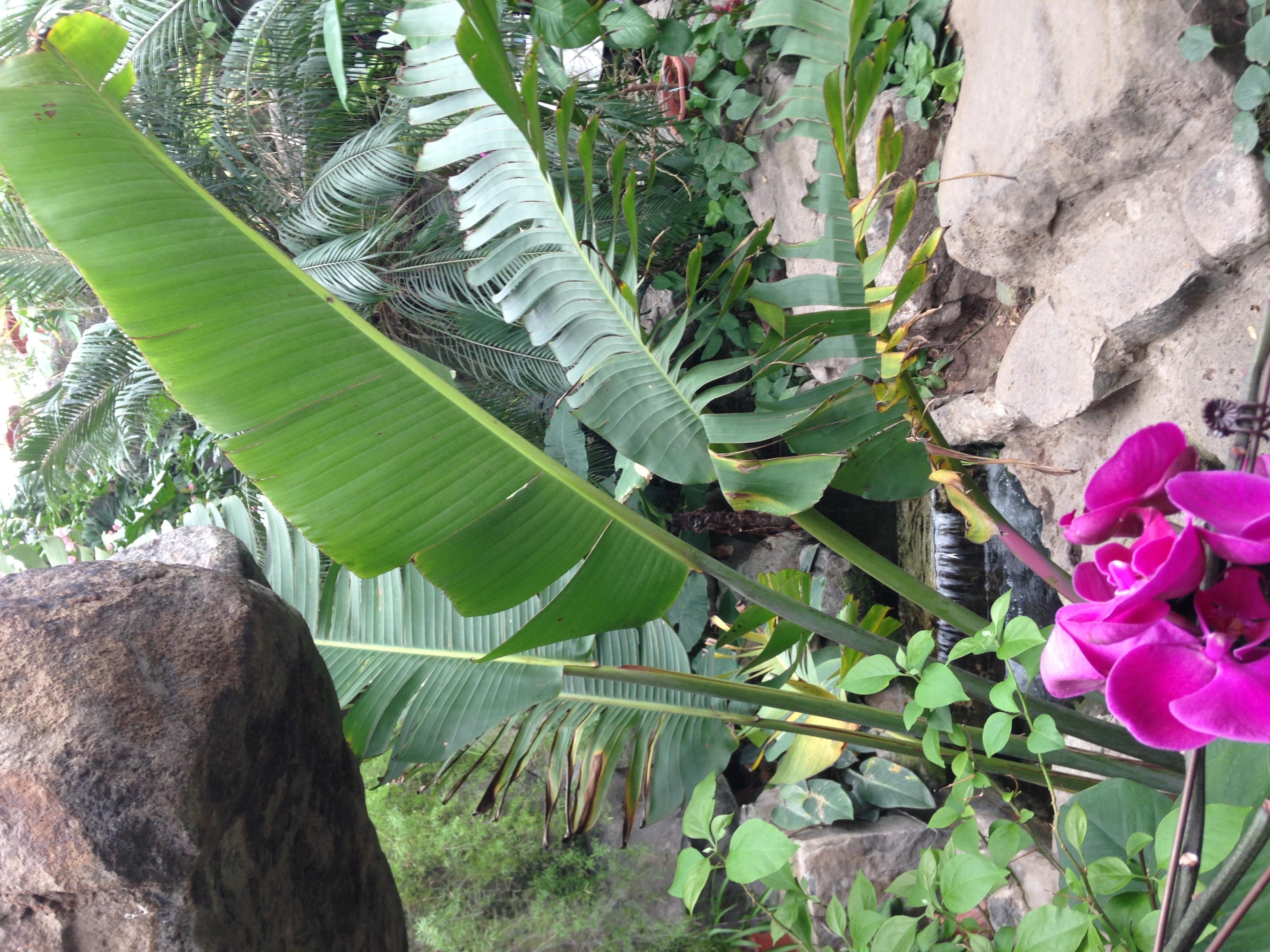 芭蕉树,是芭蕉科,芭蕉属植物,常绿大型多年生草本植物.