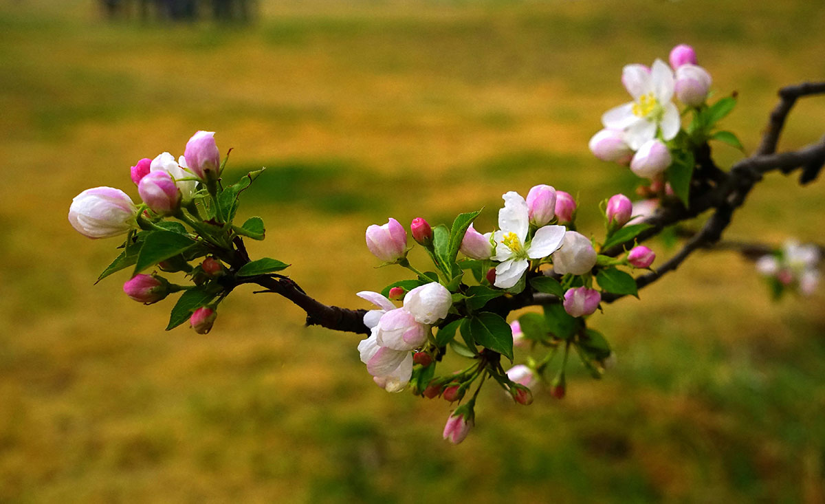 """河北张家口怀来县以""""海棠花上谷时节""""为主题的第十一届海棠花节在"""