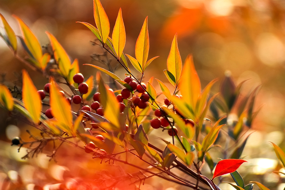 南天竹,冬日暖阳下一道最美的风景