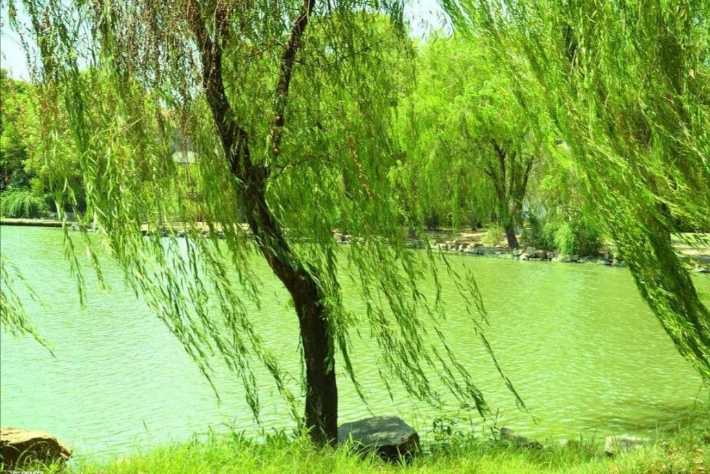 春天柳树燕子下雨图片