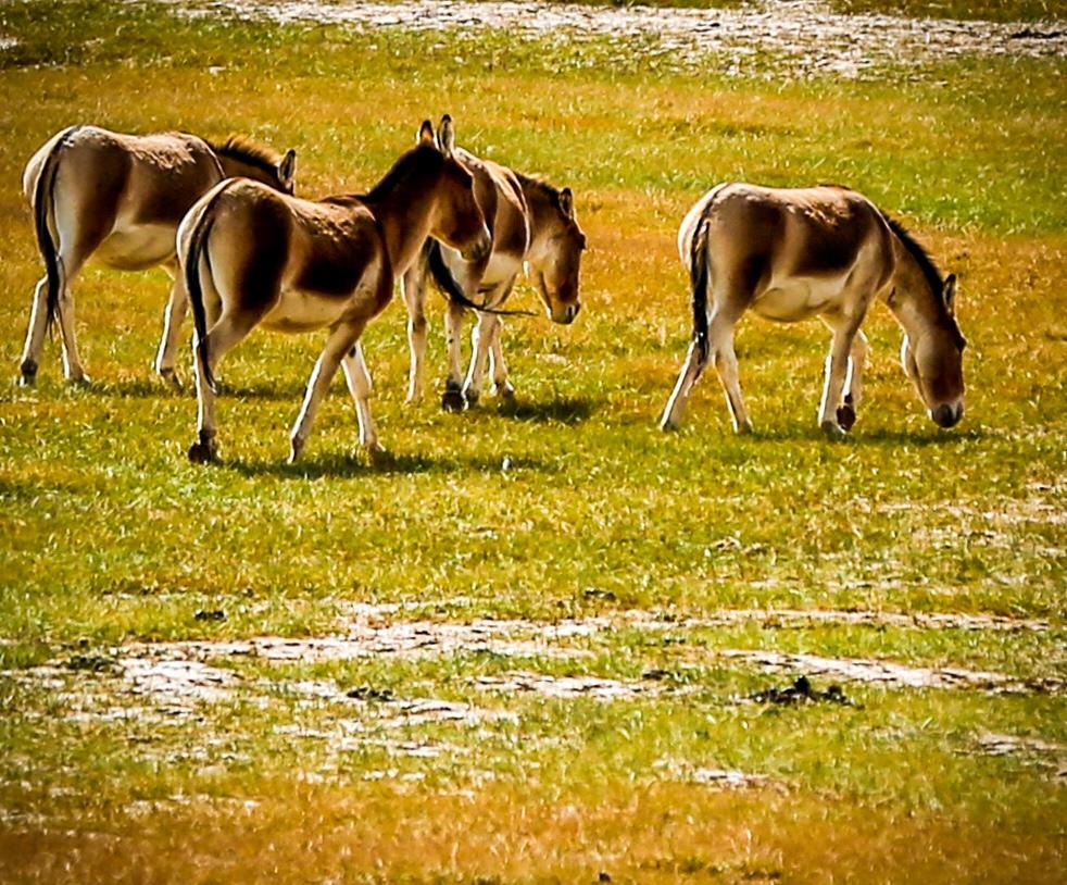 草海子里有珍稀野生动物--藏野驴出没.