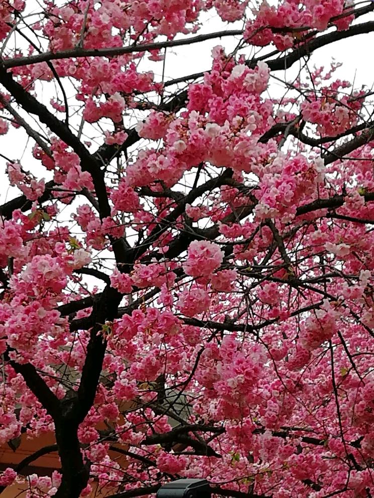彩樱花落花风景画_宛如天空下着一阵阵清香的\