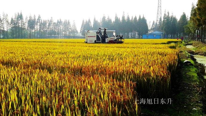 远远望去成片的稻田丰收的景象,美不胜收.