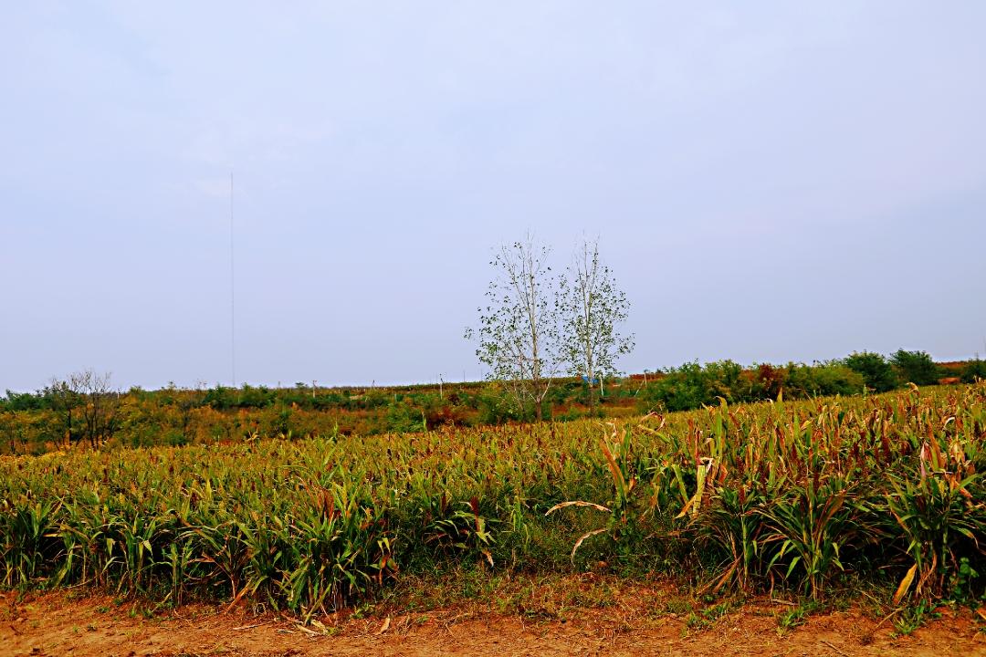 秋天在田野里.田野是金黄色的.