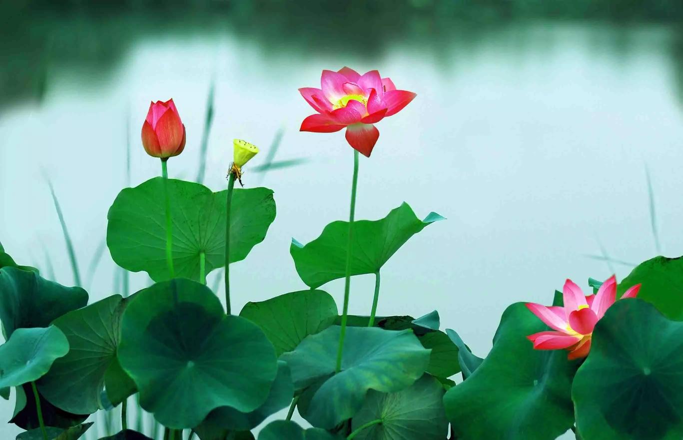 来生, 我愿做一朵莲花, 开在佛前, 就这般优雅从容的姿态, 安静面对图片